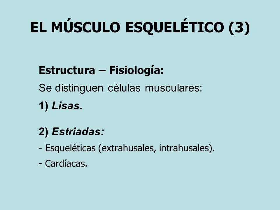 EL MÚSCULO ESQUELÉTICO (3) Estructura – Fisiología: Se distinguen células musculares: 1) Lisas. 2) Estriadas: - Esqueléticas (extrahusales, intrahusal