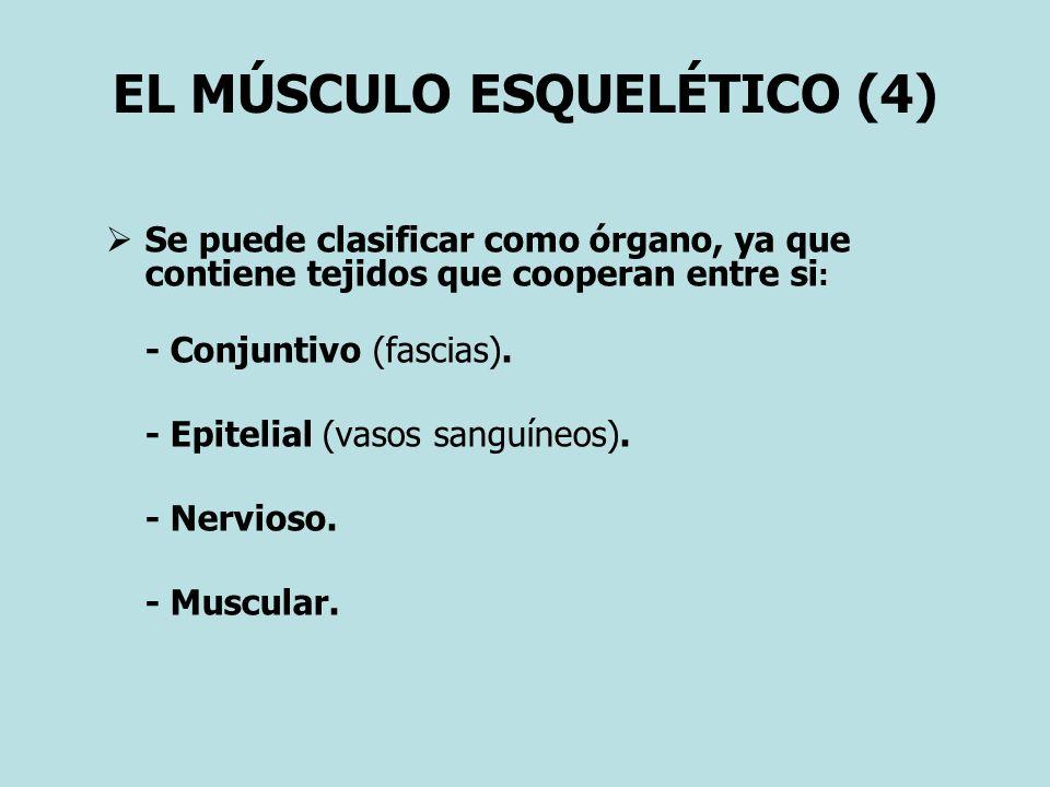 EL MÚSCULO ESQUELÉTICO (4) Se puede clasificar como órgano, ya que contiene tejidos que cooperan entre si : - Conjuntivo (fascias). - Epitelial (vasos
