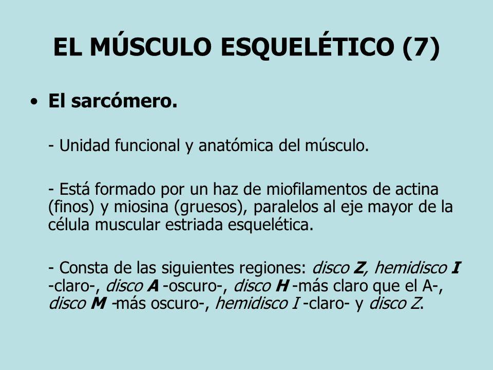 EL MÚSCULO ESQUELÉTICO (7) El sarcómero. - Unidad funcional y anatómica del músculo. - Está formado por un haz de miofilamentos de actina (finos) y mi