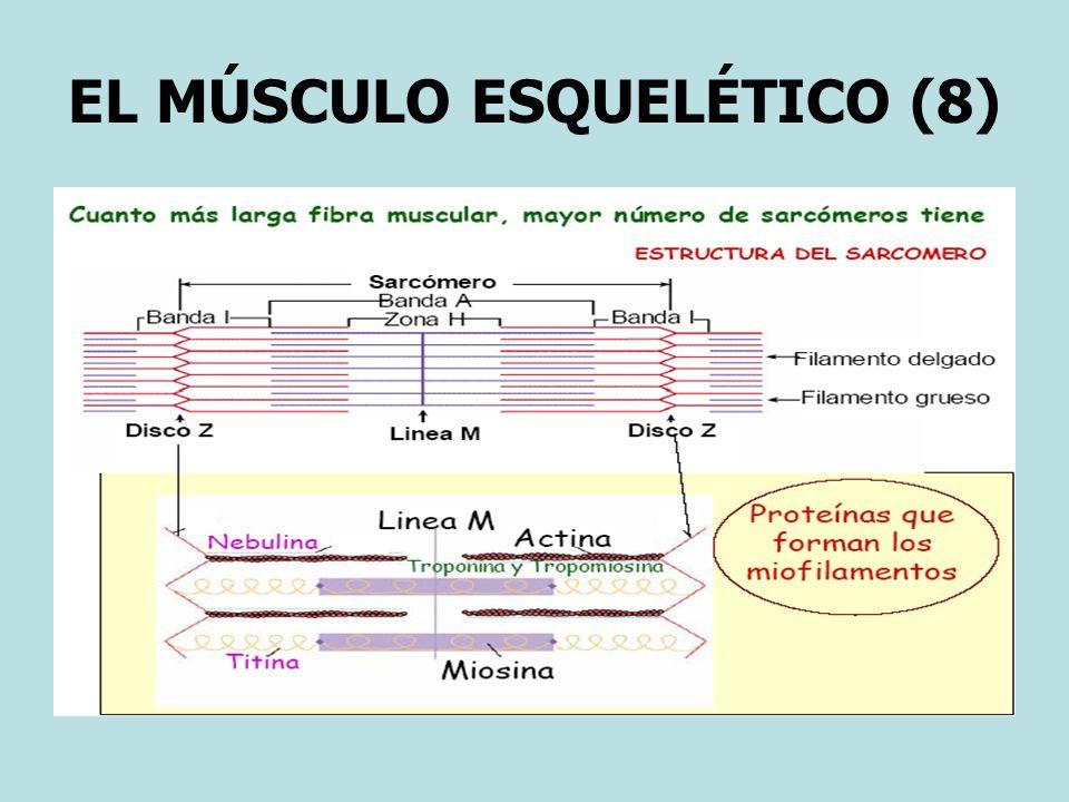 EL MÚSCULO ESQUELÉTICO (8)