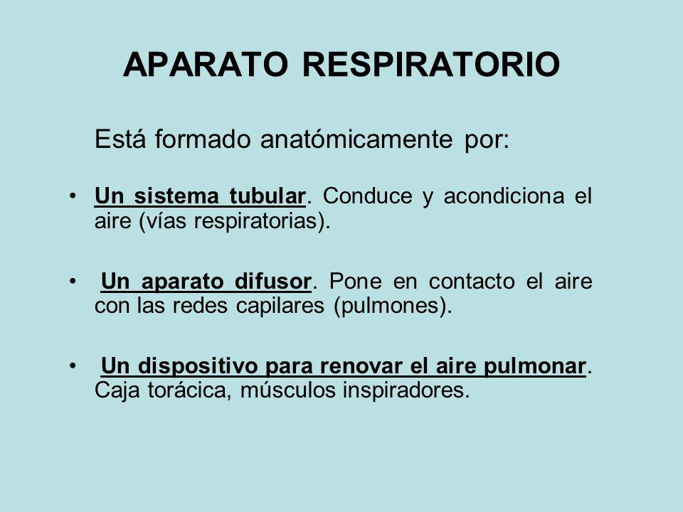 APARATO RESPIRATORIO Está formado anatómicamente por: Un sistema tubular. Conduce y acondiciona el aire (vías respiratorias). Un aparato difusor. Pone