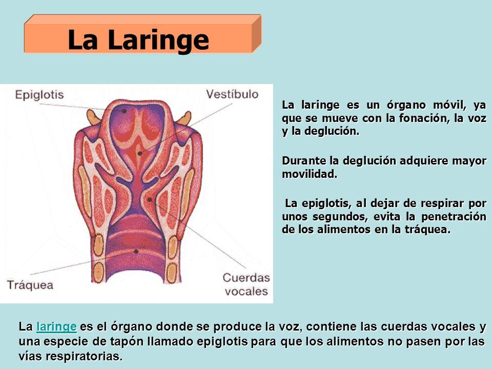 La Laringe La laringe es el órgano donde se produce la voz, contiene las cuerdas vocales y una especie de tapón llamado epiglotis para que los alimentos no pasen por las vías respiratorias.