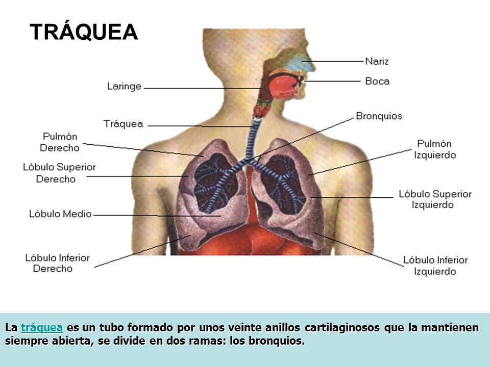 La tráquea es un tubo formado por unos veinte anillos cartilaginosos que la mantienen siempre abierta, se divide en dos ramas: los bronquios.