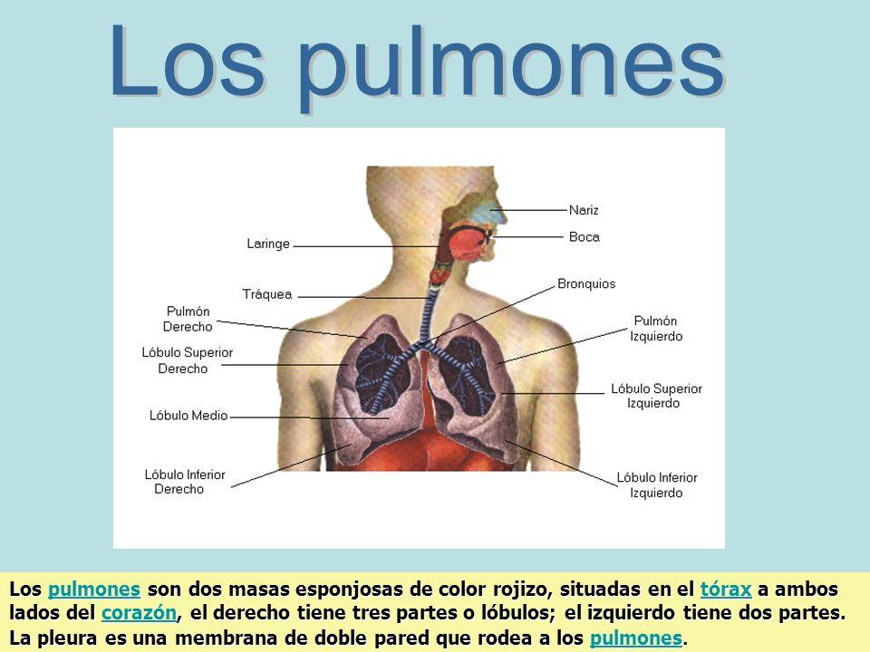 Los pulmones son dos masas esponjosas de color rojizo, situadas en el tórax a ambos lados del corazón, el derecho tiene tres partes o lóbulos; el izquierdo tiene dos partes.