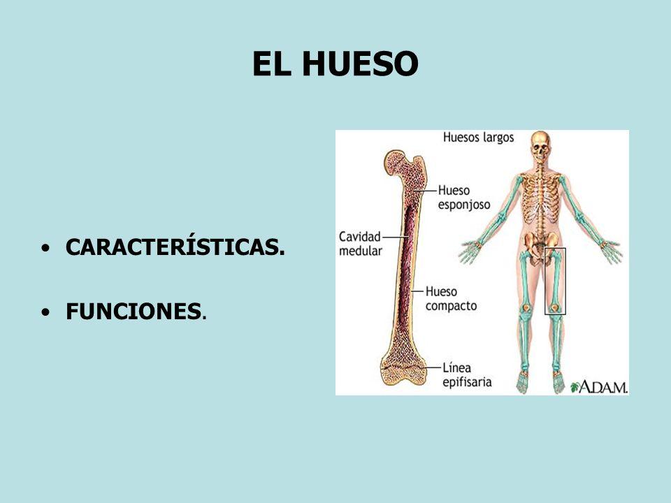 EL MÚSCULO ESQUELÉTICO (3) Estructura – Fisiología: Se distinguen células musculares: 1) Lisas.