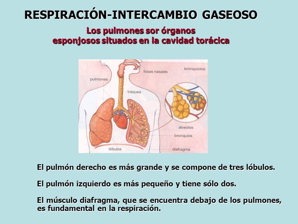 RESPIRACIÓN-INTERCAMBIO GASEOSO Los pulmones sor órganos esponjosos situados en la cavidad torácica El pulmón derecho es más grande y se compone de tres lóbulos.
