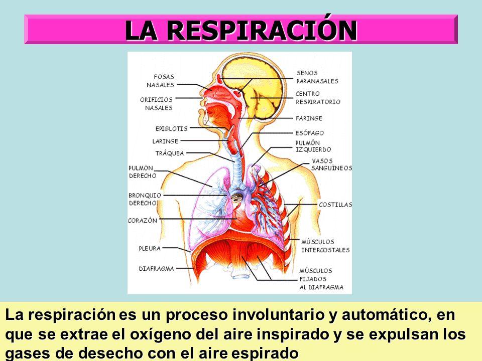 LA RESPIRACIÓN La respiración es un proceso involuntario y automático, en que se extrae el oxígeno del aire inspirado y se expulsan los gases de desec