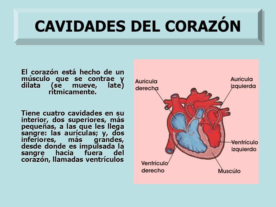 El corazón está hecho de un músculo que se contrae y dilata (se mueve, late) rítmicamente. Tiene cuatro cavidades en su interior, dos superiores, más
