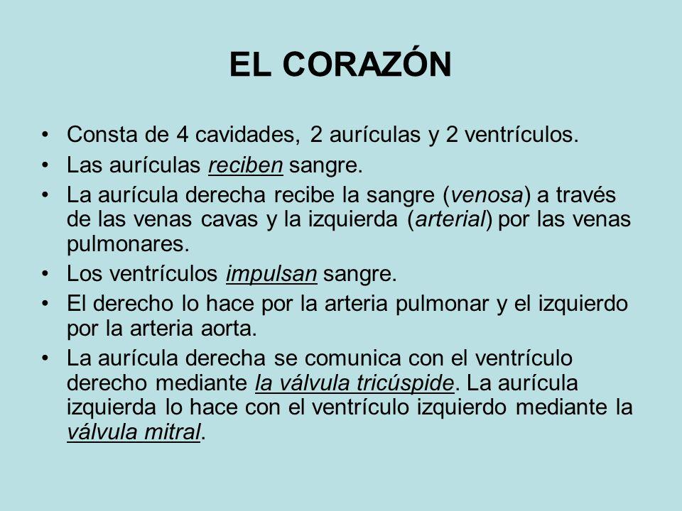 EL CORAZÓN Consta de 4 cavidades, 2 aurículas y 2 ventrículos. Las aurículas reciben sangre. La aurícula derecha recibe la sangre (venosa) a través de