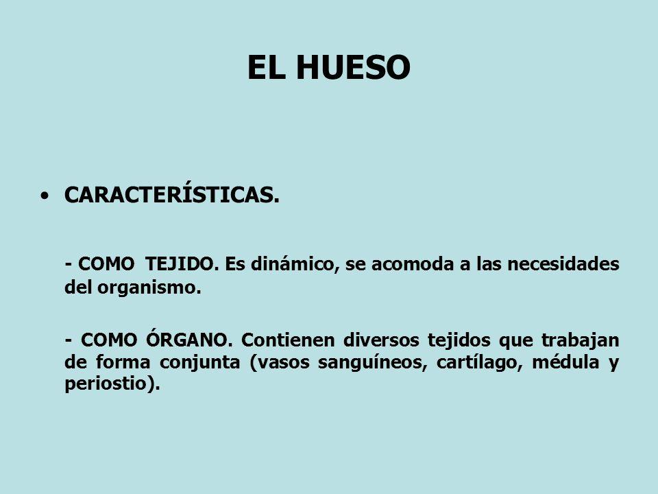 EL MÚSCULO ESQUELÉTICO (4) Se puede clasificar como órgano, ya que contiene tejidos que cooperan entre si : - Conjuntivo (fascias).