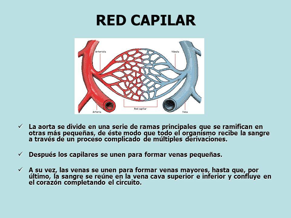 RED CAPILAR La aorta se divide en una serie de ramas principales que se ramifican en otras más pequeñas, de éste modo que todo el organismo recibe la