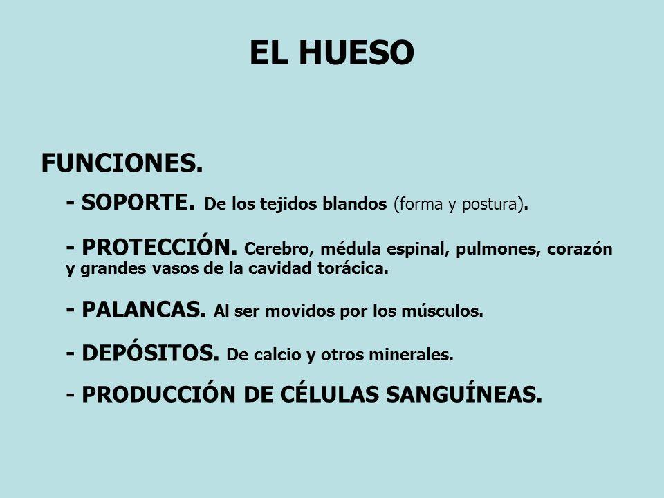 EL HUESO FUNCIONES.- SOPORTE. De los tejidos blandos (forma y postura).