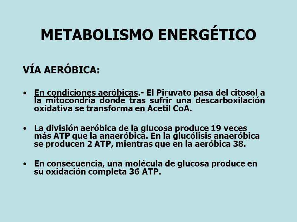 METABOLISMO ENERGÉTICO VÍA AERÓBICA: En condiciones aeróbicas.- El Piruvato pasa del citosol a la mitocondria donde tras sufrir una descarboxilación oxidativa se transforma en Acetil CoA.