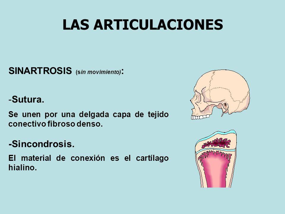 LAS ARTICULACIONES ANFIARTROSIS (movilidad escasa) : Sindesmosis.