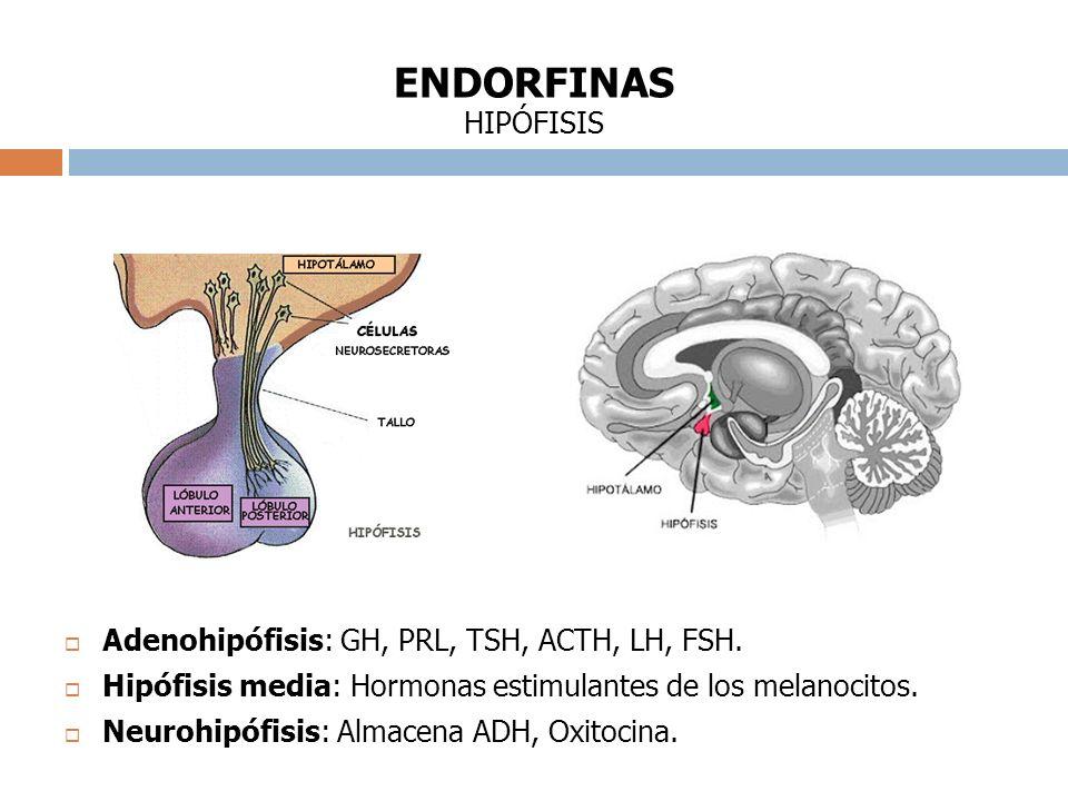 ENDORFINAS HIPÓFISIS Adenohipófisis: GH, PRL, TSH, ACTH, LH, FSH.