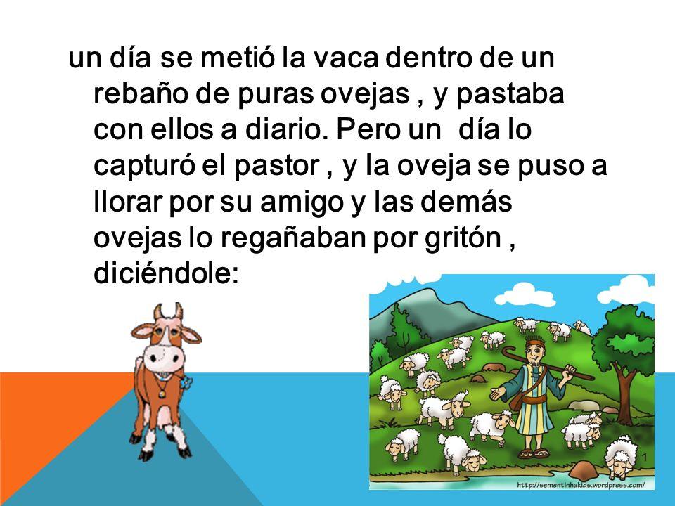 un día se metió la vaca dentro de un rebaño de puras ovejas, y pastaba con ellos a diario. Pero un día lo capturó el pastor, y la oveja se puso a llor