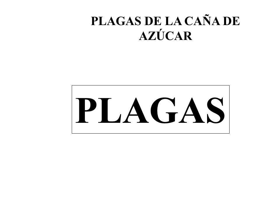 PLAGAS DE LA CAÑA DE AZÚCAR PLAGAS