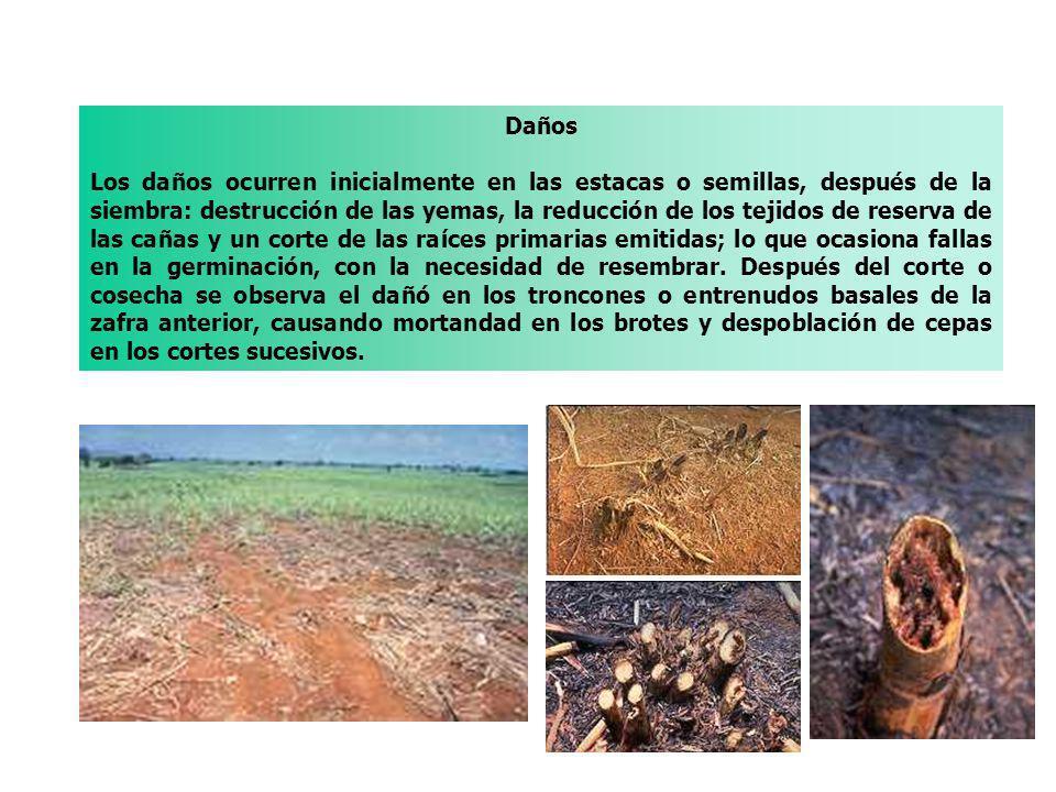 Daños Los daños ocurren inicialmente en las estacas o semillas, después de la siembra: destrucción de las yemas, la reducción de los tejidos de reserv