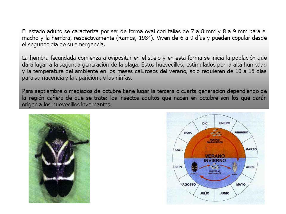 El estado adulto se caracteriza por ser de forma oval con tallas de 7 a 8 mm y 8 a 9 mm para el macho y la hembra, respectivamente (Ramos, 1984). Vive