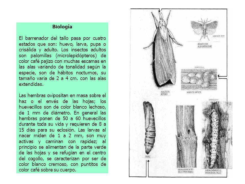 Biología El barrenador del tallo pasa por cuatro estados que son: huevo, larva, pupa o crisálida y adulto. Los insectos adultos son palomillas (microl
