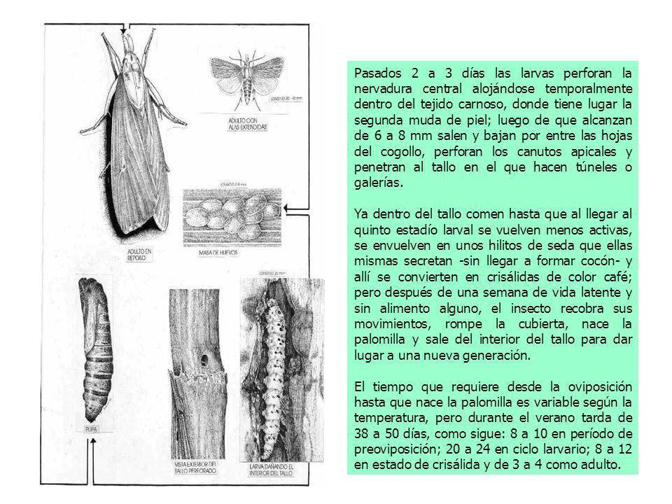 Pasados 2 a 3 días las larvas perforan la nervadura central alojándose temporalmente dentro del tejido carnoso, donde tiene lugar la segunda muda de p