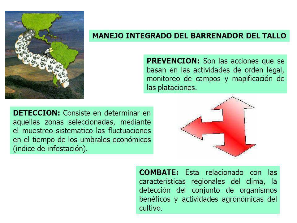 MANEJO INTEGRADO DEL BARRENADOR DEL TALLO PREVENCION: Son las acciones que se basan en las actividades de orden legal, monitoreo de campos y mapificac