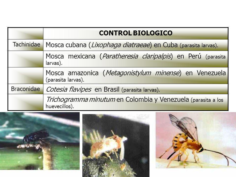 CONTROL BIOLOGICO Tachinidae Mosca cubana (Lixophaga diatraeae) en Cuba (parasita larvas). Mosca mexicana (Paratheresia claripalpis) en Perú (parasita