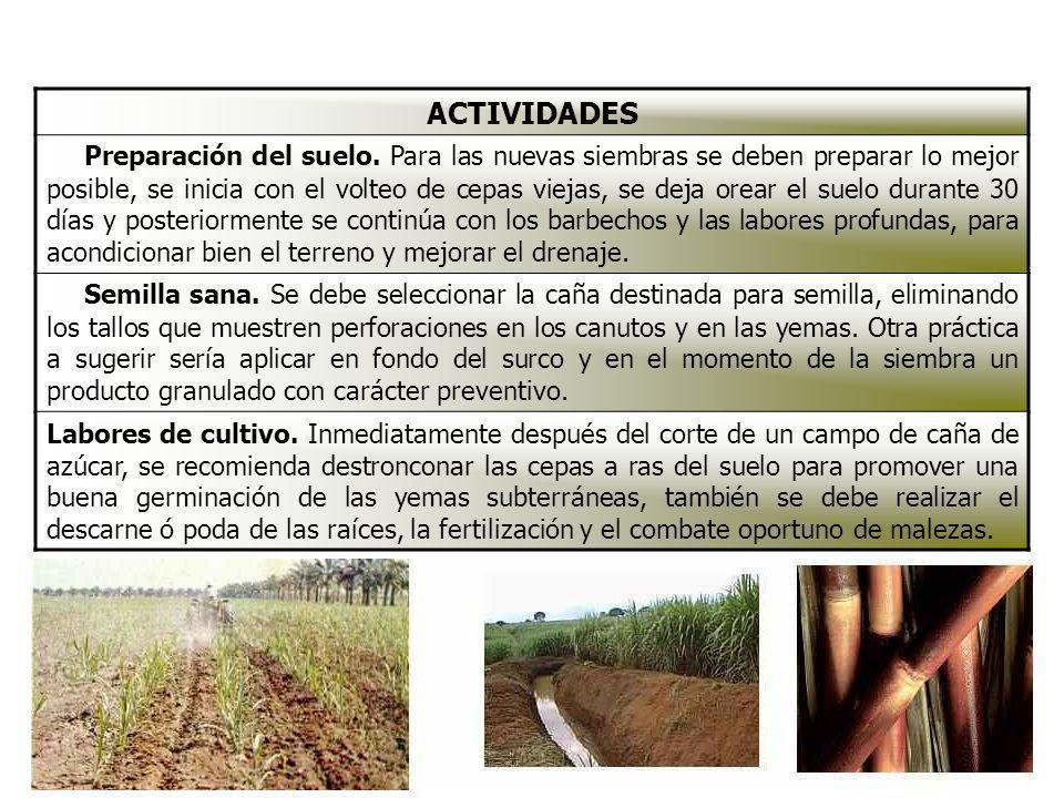 ACTIVIDADES Preparación del suelo. Para las nuevas siembras se deben preparar lo mejor posible, se inicia con el volteo de cepas viejas, se deja orear