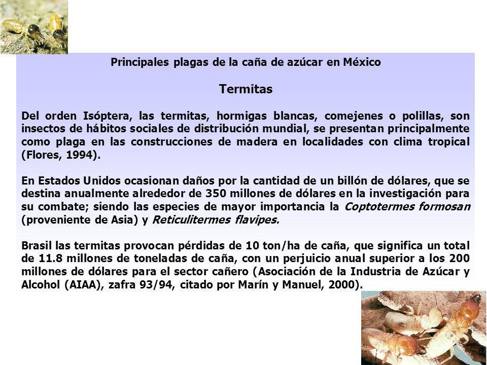 Principales plagas de la caña de azúcar en México Termitas Del orden Isóptera, las termitas, hormigas blancas, comejenes o polillas, son insectos de h