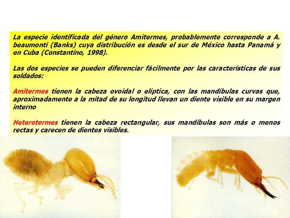 La especie identificada del género Amitermes, probablemente corresponde a A. beaumonti (Banks) cuya distribución es desde el sur de México hasta Panam