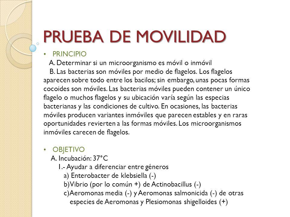 PRUEBA DE MOVILIDAD PRINCIPIO A. Determinar si un microorganismo es móvil o inmóvil B. Las bacterias son móviles por medio de flagelos. Los flagelos a