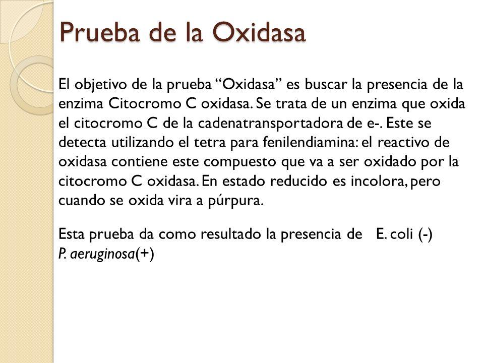 Prueba de la Oxidasa El objetivo de la prueba Oxidasa es buscar la presencia de la enzima Citocromo C oxidasa. Se trata de un enzima que oxida el cito