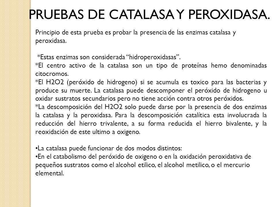 PRUEBAS DE CATALASA Y PEROXIDASA. Principio de esta prueba es probar la presencia de las enzimas catalasa y peroxidasa. *Estas enzimas son considerada