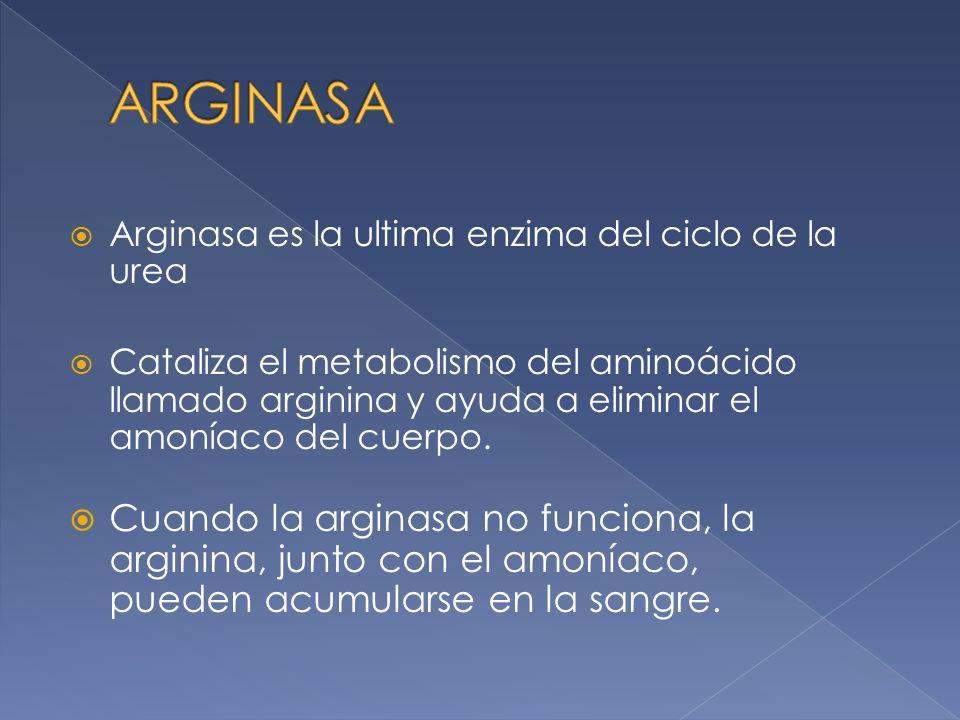 Arginasa es la ultima enzima del ciclo de la urea Cataliza el metabolismo del aminoácido llamado arginina y ayuda a eliminar el amoníaco del cuerpo. C