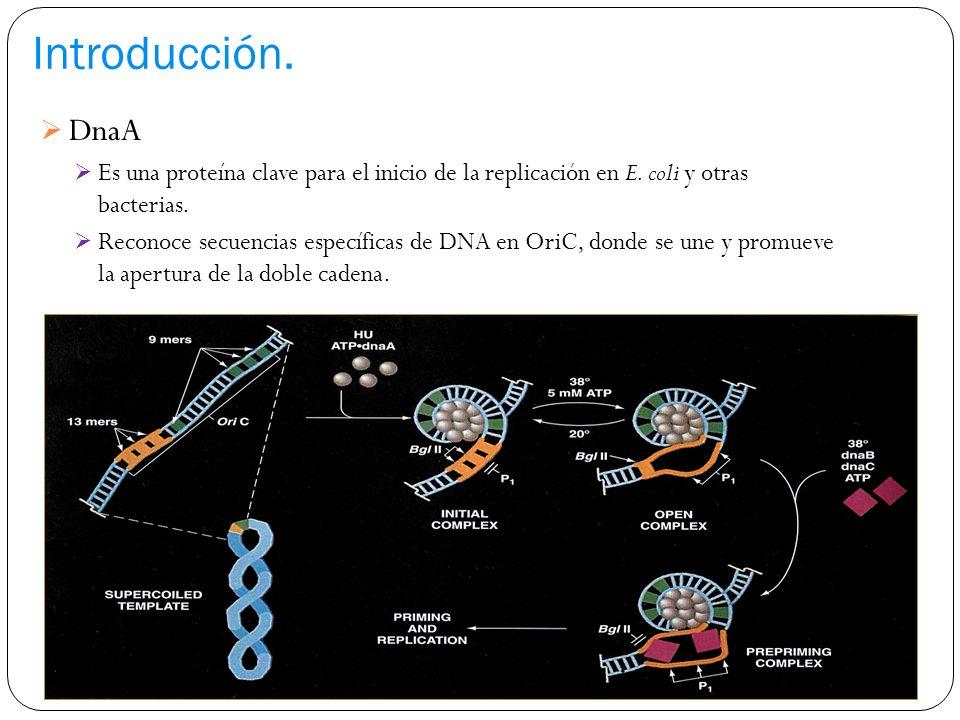 Efecto de S143 sobre el crecimiento de la cepa con sobreexpresión de DNA girasa Efecto de S143sobre el crecimiento de E.