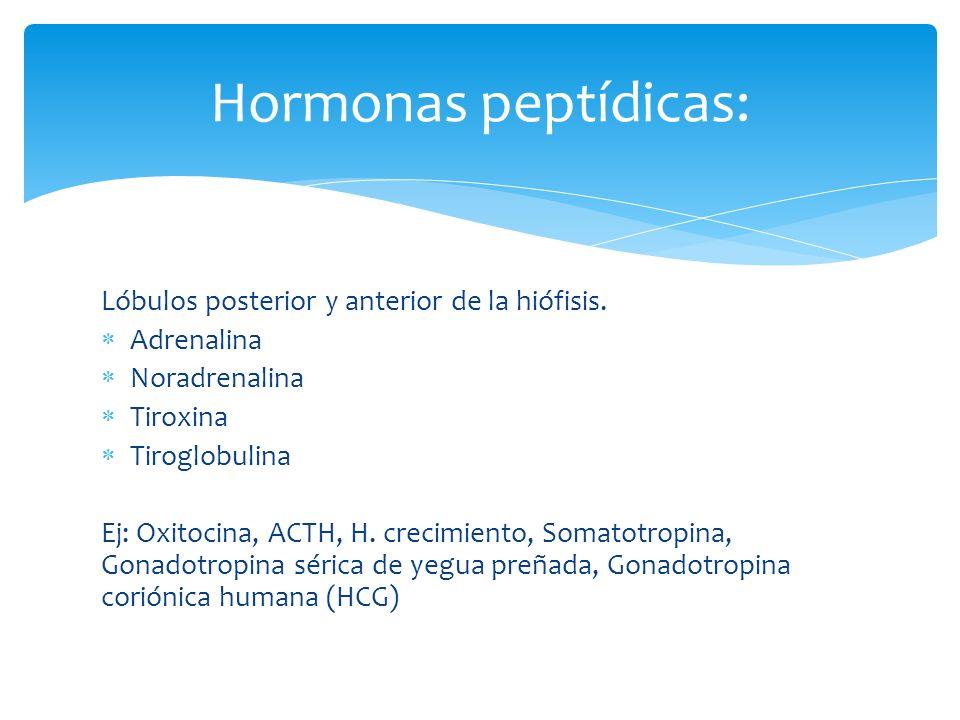 Lóbulos posterior y anterior de la hiófisis. Adrenalina Noradrenalina Tiroxina Tiroglobulina Ej: Oxitocina, ACTH, H. crecimiento, Somatotropina, Gonad