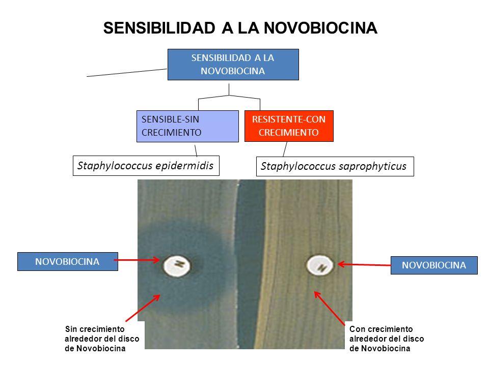 SENSIBILIDAD A LA NOVOBIOCINA SENSIBLE-SIN CRECIMIENTO RESISTENTE-CON CRECIMIENTO Staphylococcus epidermidis Staphylococcus saprophyticus SENSIBILIDAD
