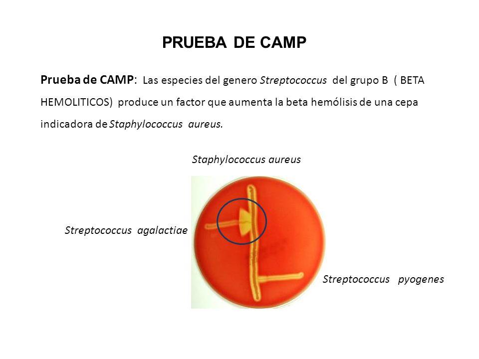 Prueba de CAMP: Las especies del genero Streptococcus del grupo B ( BETA HEMOLITICOS) produce un factor que aumenta la beta hemólisis de una cepa indi