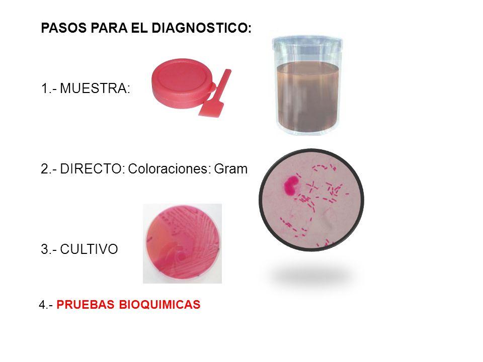 4.- PRUEBAS BIOQUIMICAS PASOS PARA EL DIAGNOSTICO: 1.- MUESTRA: 2.- DIRECTO: Coloraciones: Gram 3.- CULTIVO