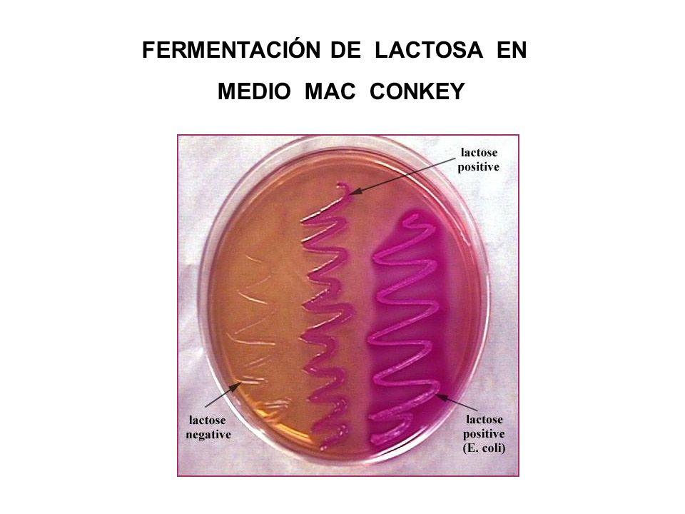 FERMENTACIÓN DE LACTOSA EN MEDIO MAC CONKEY