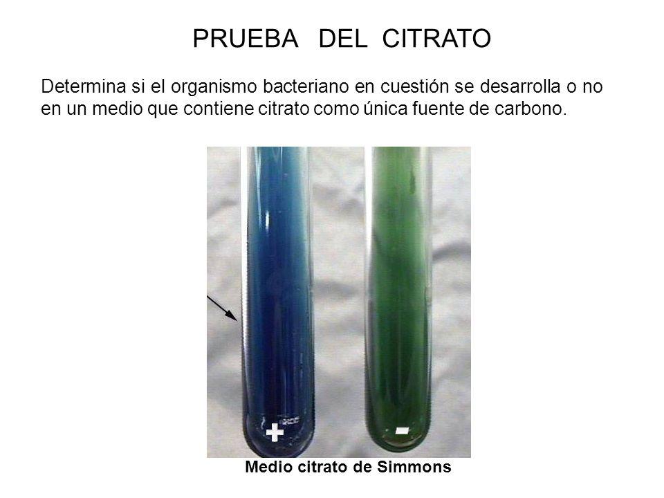 Determina si el organismo bacteriano en cuestión se desarrolla o no en un medio que contiene citrato como única fuente de carbono. PRUEBA DEL CITRATO