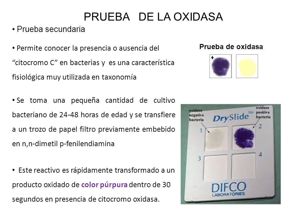 Permite conocer la presencia o ausencia del citocromo C en bacterias y es una característica fisiológica muy utilizada en taxonomía PRUEBA DE LA OXIDA