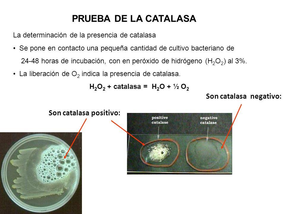 PRUEBA DE LA CATALASA La determinación de la presencia de catalasa Se pone en contacto una pequeña cantidad de cultivo bacteriano de 24-48 horas de in