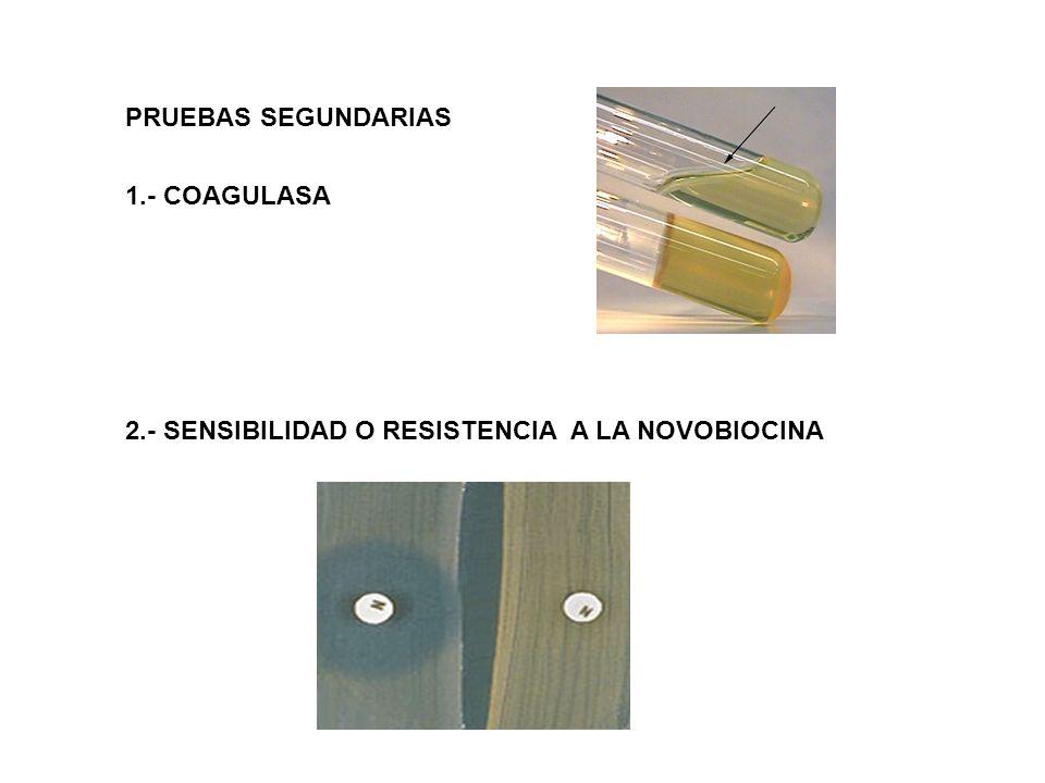 PRUEBAS SEGUNDARIAS 1.- COAGULASA 2.- SENSIBILIDAD O RESISTENCIA A LA NOVOBIOCINA