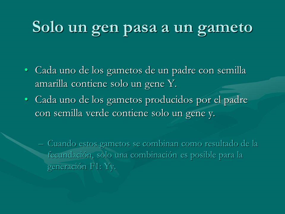 Solo un gen pasa a un gameto Cada uno de los gametos de un padre con semilla amarilla contiene solo un gene Y.Cada uno de los gametos de un padre con