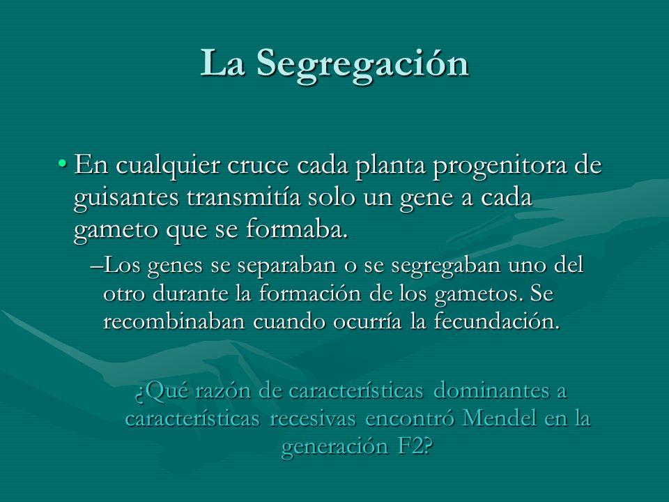 La Segregación En cualquier cruce cada planta progenitora de guisantes transmitía solo un gene a cada gameto que se formaba.En cualquier cruce cada pl