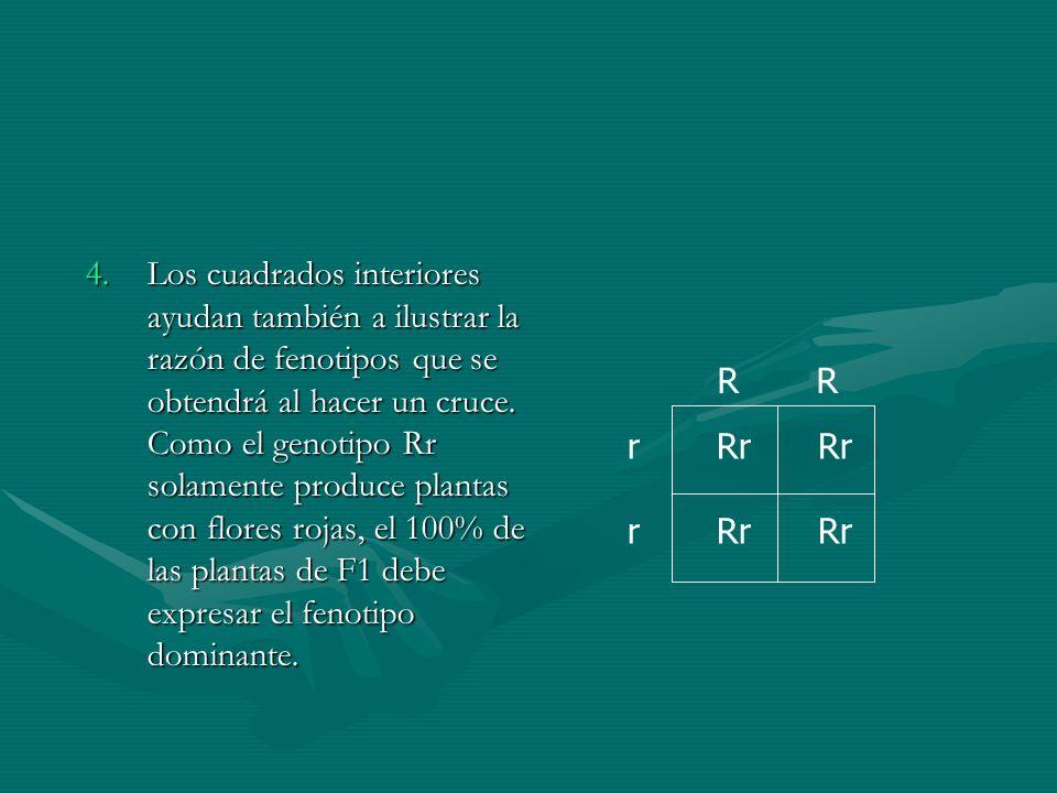 4.Los cuadrados interiores ayudan también a ilustrar la razón de fenotipos que se obtendrá al hacer un cruce. Como el genotipo Rr solamente produce pl