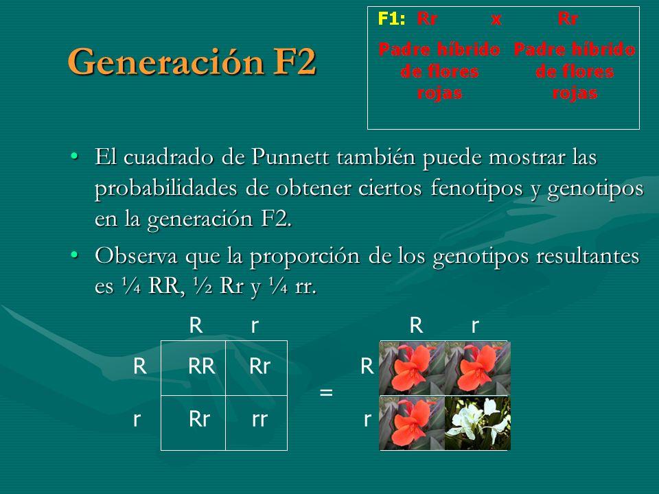 Generación F2 El cuadrado de Punnett también puede mostrar las probabilidades de obtener ciertos fenotipos y genotipos en la generación F2.El cuadrado