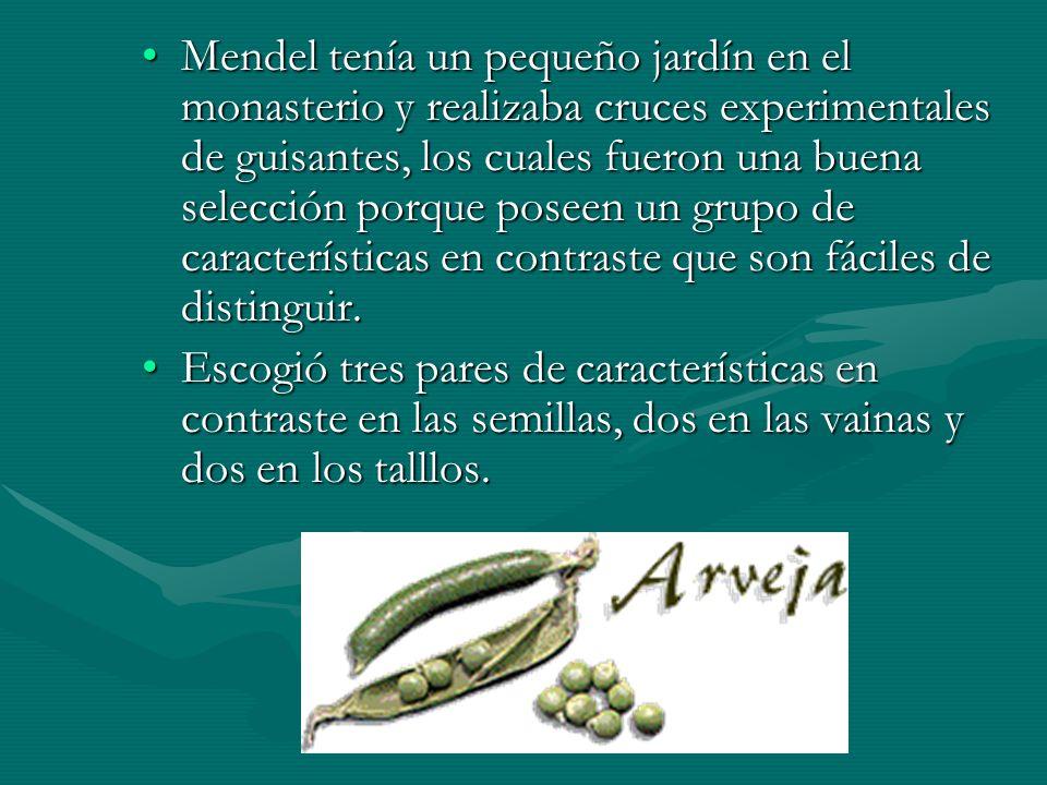 Mendel tenía un pequeño jardín en el monasterio y realizaba cruces experimentales de guisantes, los cuales fueron una buena selección porque poseen un