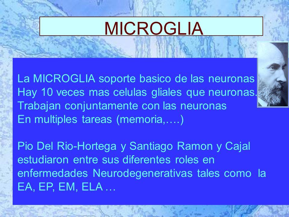 MICROGLIA La MICROGLIA soporte basico de las neuronas Hay 10 veces mas celulas gliales que neuronas.